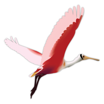 Roseate Spoonbill vector graphic